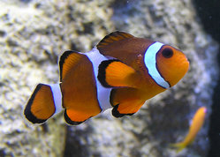 Marlin, Coral, and Nemo are clownfish in the film. This is a real clownfish in a zoo aquarium.