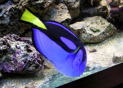 The character Dory is a Regal Tang fish. This picture, taken in a zoo aquarium, shows the astonishing blue of the real fish.